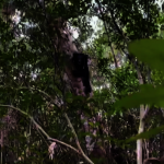 台灣小熊5秒爬樹2層樓高 俐落身手影片曝光