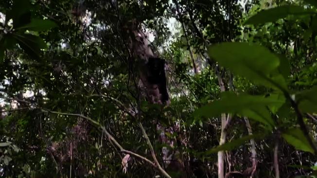 廣原小熊「姆拉斯(Mulas)」超級愛爬樹,且爬得又高又快,模樣超萌。記者羅紹平/翻攝