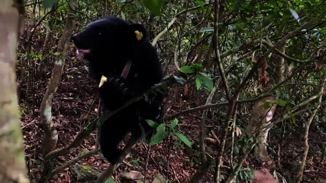 廣原小熊「姆拉斯(Mulas)」超級愛爬樹,且爬得又高又快,牠攀掛在樹枝上啃食果實,模樣超萌。記者羅紹平/翻攝
