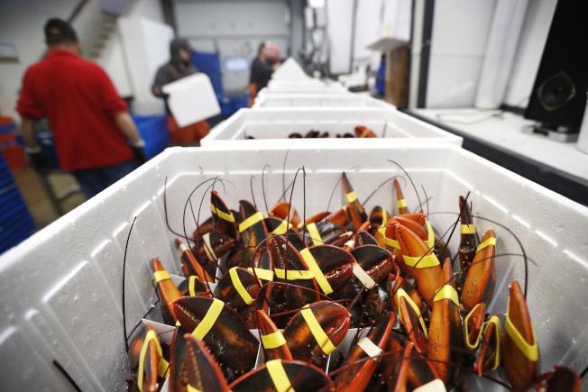 中國新冠病毒疫情對全球供應鏈產業造成巨大衝擊。圖為緬因州盛產龍蝦,原要運中國,變成大量滯銷。(美社)
