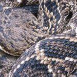 東部菱形響尾蛇或瀕絕?專家憂:部分害蟲缺天敵