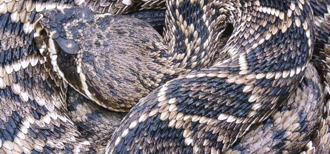 東部菱形響尾蛇。(取自哥倫比亞河岸動物園官網)