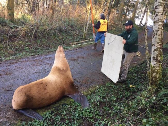 美國華盛頓州考立茲郡日前有一隻雌海獅在鄉間小路遊蕩,州動保部門指出,每年此時的考立茲河滿是香魚,有海獅出沒並非罕見。這隻華盛頓州本地種的北海獅轉錯彎、走錯路,最後闖進鹿和麋鹿棲息的林地後被目擊。取材自臉書