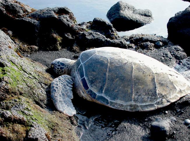 夏威夷大島黑沙灘上的海龜。