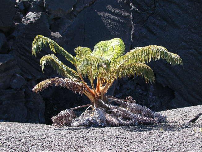 火山口玄武岩上茁壯的蕨類植物。