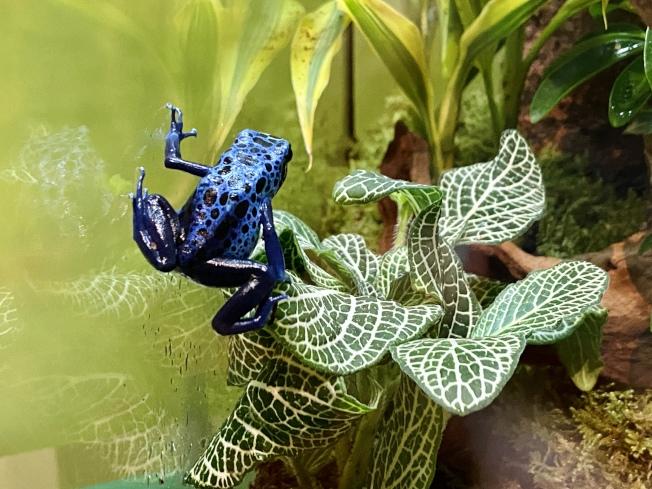藍箭毒蛙帶有醒目的藍色警戒色,幫助禦敵。(記者鄭怡嫣/攝影)