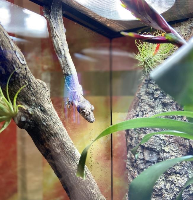 葉尾壁虎利用身體的隱蔽色,潛藏在枯枝之後。(記者鄭怡嫣/攝影)