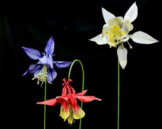 漏斗花進化出不同的顏色,吸引更多的蟲鳥幫忙授粉。(紐約自然歷史博物館提供)