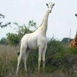 全世界只剩一隻!白色長頸鹿母子慘遭獵殺
