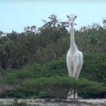 全球只剩一隻了!肯亞白長頸鹿母子 慘遭獵殺