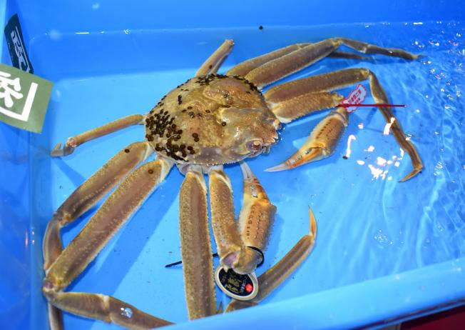 日本鳥取縣高級品牌蟹「五輝星」去年11月7日在鳥取港舉行初拍競標,創下500萬日圓的成交世界紀錄。(歐新社)