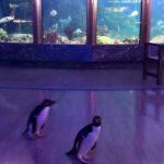 水族館因防疫關閉 放企鵝出來逛園區