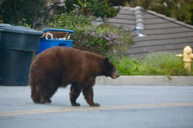 一頭黑熊25日清晨在亞凱迪亞市(Arcadia)鄰近天使國家森林的一處住宅區翻垃圾箱尋找牠的早餐,最後才返回老家。(洛杉磯時報)