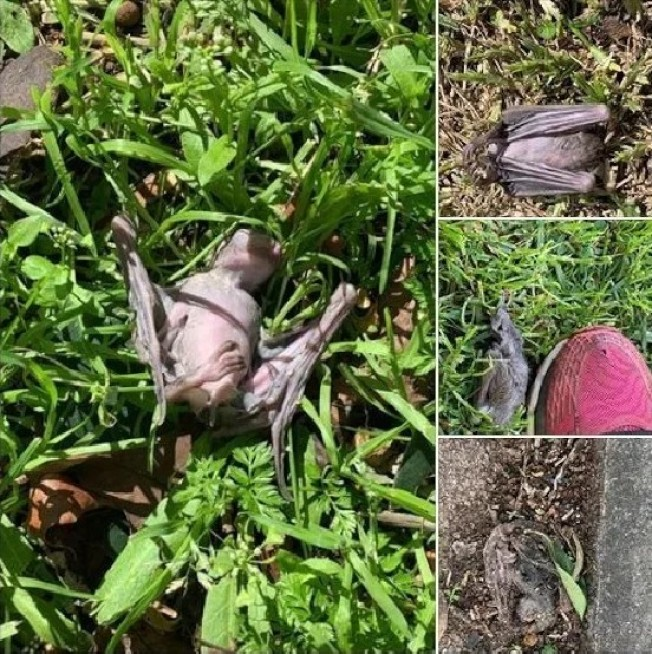 以色列拉馬干(Ramat Gan)的甘勒米公園附近出現成群年輕蝙蝠屍體。圖擷自twitter