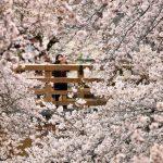 疫情延燒 東京都宣布封閉3大公園賞櫻步道
