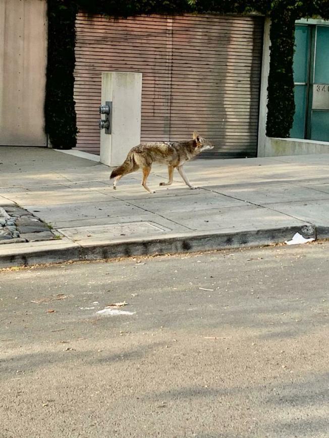 一頭野狼在街上「散步」。(取自推特)