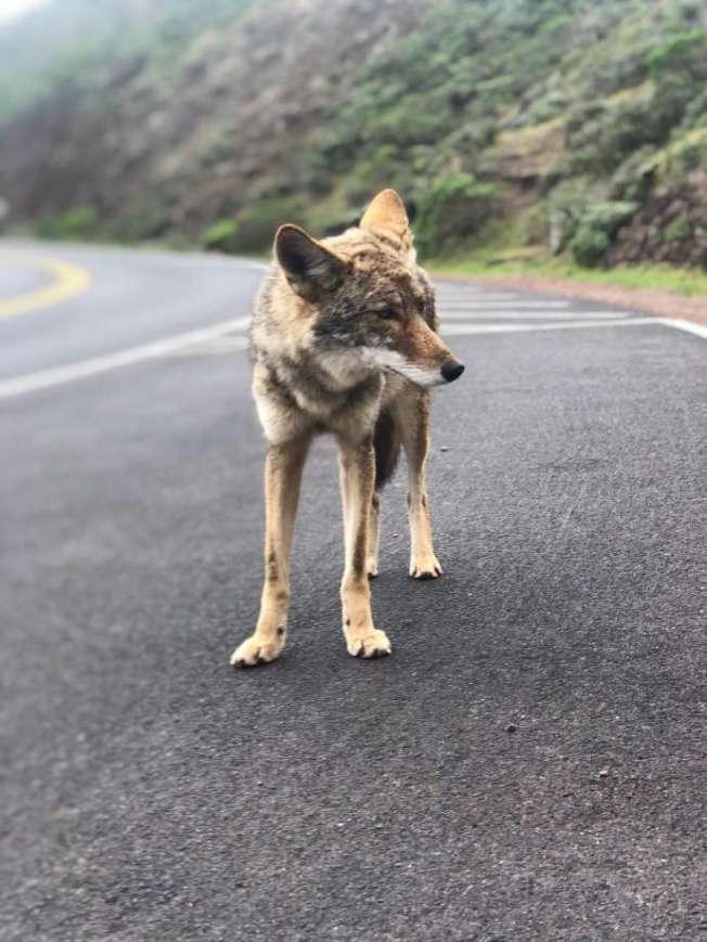路上沒人,只見狼蹤。(取自推特)