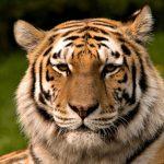 紐約布朗士4歲老虎乾咳數日後確診!美首例動物感染新冠肺炎