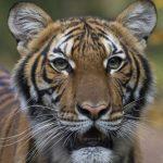 布朗士動物園老虎乾咳確診 美動物感染首例