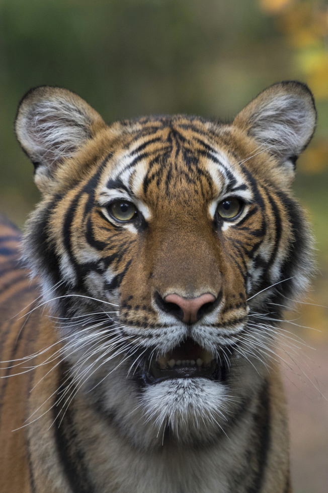 布朗士動物園四歲的馬來西亞虎確診新冠肺炎。(野生動物保護協會/美聯社)