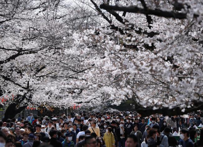 東京民眾3月22日湧入上野恩賜公園賞櫻。東京過去兩天新冠肺炎單日確診病例連創新高,官員認為可能和兩周前的賞櫻人潮有關。(路透)