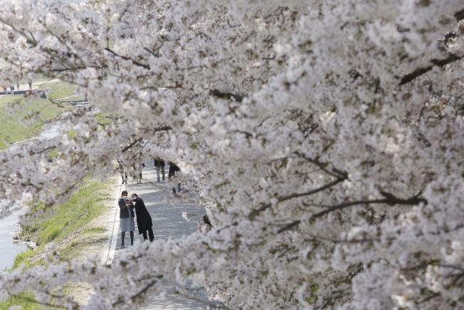 韓國首爾,民眾戴口罩出門賞櫻。(美聯社)