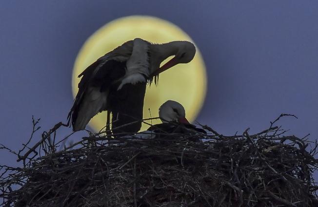 在北馬其頓共和國,一位攝影師捕抓到鳥類餵食與超級月亮的合影。歐新社
