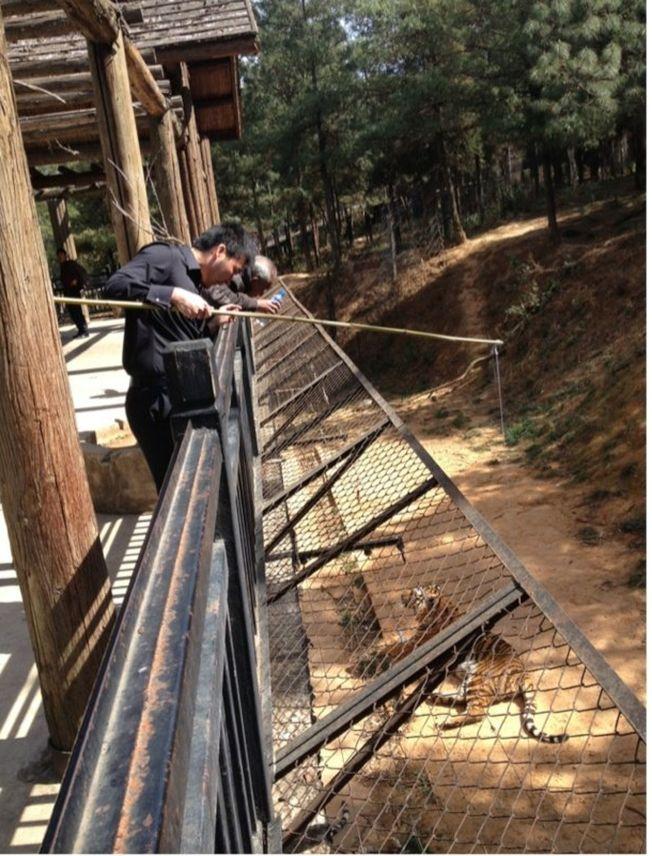 雲南昆明某動物園驚見遊客綁肉「釣老虎」,引發批評。(取材自微博)