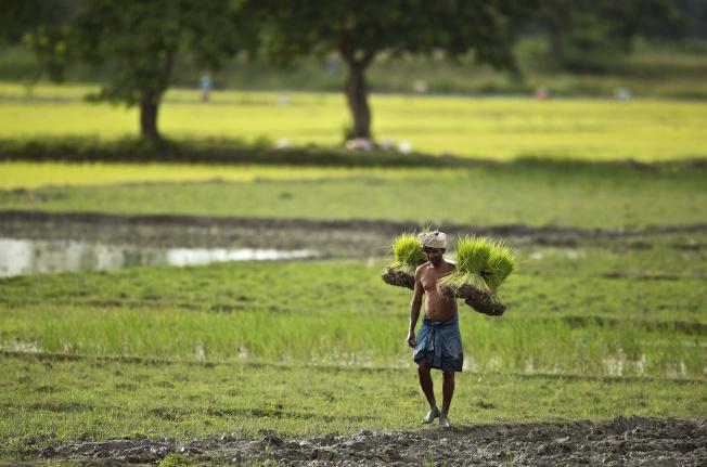 亞洲主食稻米的價格已達到7年來最高水平。(美聯社)