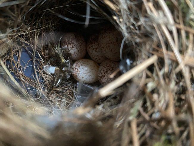 """华人宅家隔离一个月 门上 """"长出鸟巢"""""""