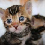 全美首例 紐約2寵物貓確診 動物園7虎獅也染疫