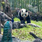 武漢動物園關閉3個月後重開 熊貓胖了7.5公斤