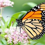 三億隻帝王斑蝶回北卡 植物授粉來幫忙 人人責無旁貸