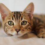 繼狗染疫後 香港又見貓被飼主傳染