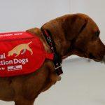 新冠病毒用「聞」的 賓大訓練8隻探測犬