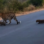 跟花豹媽媽過馬路 小豹跌坐賴在地上 萌翻!