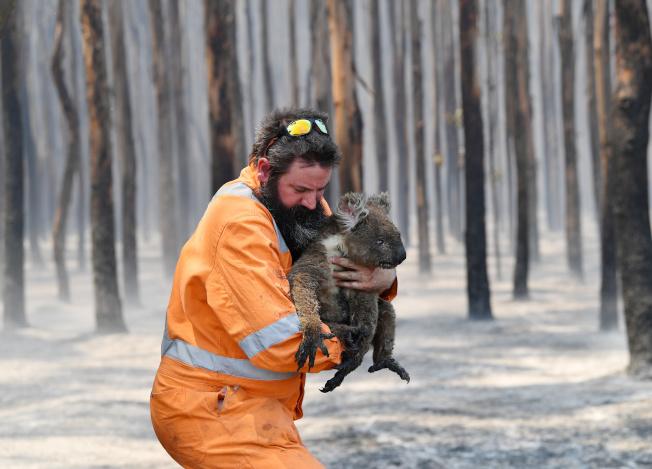 澳洲山火倖存無尾熊 回歸山林
