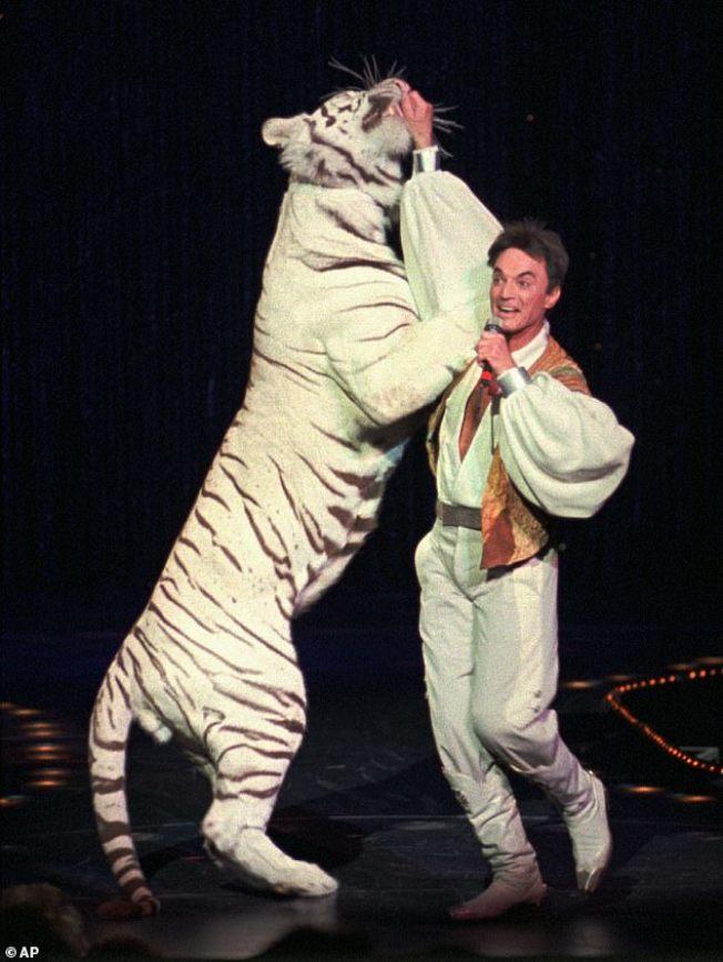 洛伊霍恩和白老虎的互動是「白老虎秀」的賣點之一。(美聯社資料照片)