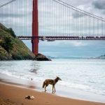 野狼出沒舊金山  闖後院、登屋頂、逛金門大橋
