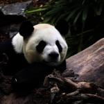 疫情害的!加2熊貓沒竹子吃 將提前被送回中國