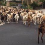 奇!羊群也現隔離疲勞 結隊衝上加州矽谷街頭
