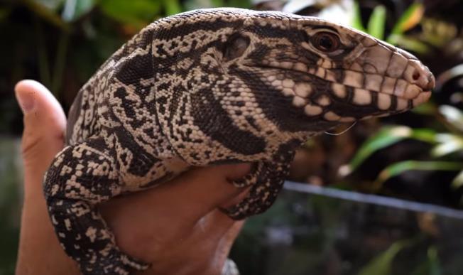 喬治亞州自然資源部門近日發布警告,原生於南美洲的阿根廷黑白泰加蜥蜴,在該州至少兩郡現蹤。(喬州自然資源部門影片截圖)