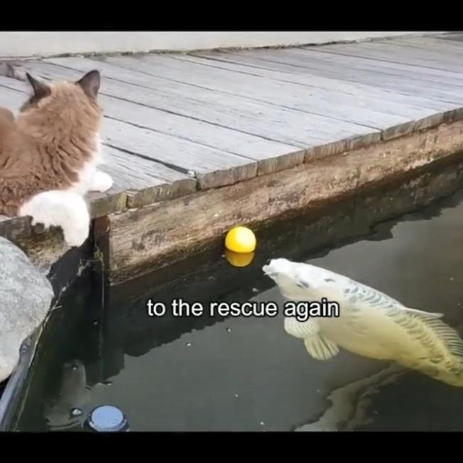 貓咪池邊玩球踢落水。(取材自Instagram)