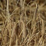 追疫責被惹怒?中課澳洲大麥重稅