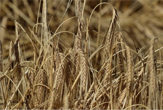 澳洲大麥遭中國課徵反傾銷及反補貼稅。(美聯社)