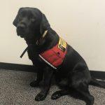 2歲拉布拉多上工 法庭服務犬撫慰受害者