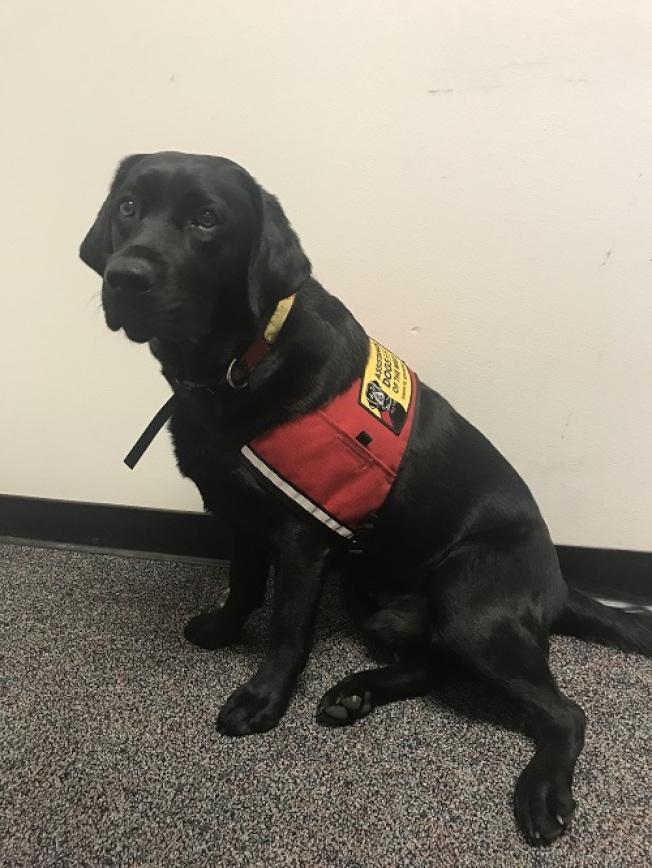 兩歲的拉布拉多狗波西(Percy)是隻法庭服務犬,在犯罪調查和起訴的各個階段,成了受害者最佳的心靈夥伴。(聖他克拉拉縣地檢官辦公室提供)