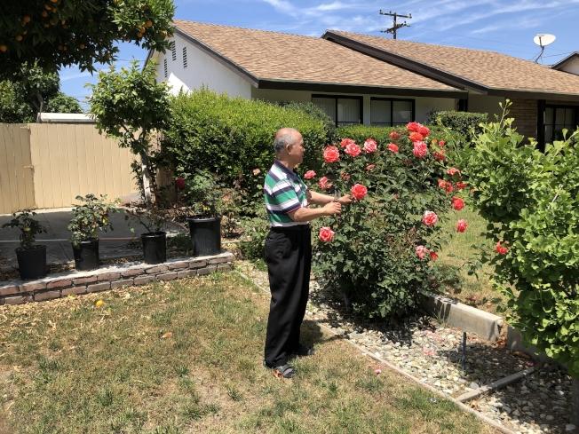 作者在欣賞花園裡玫瑰。(江涌提供)