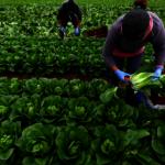 疫情衝擊 東歐勞工去不了 英國農場急需4萬人摘蔬果