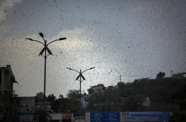 印度的拉賈斯坦邦阿傑梅爾縣(Ajmer)上空出現蝗蟲大軍。當地官員表示,這是印度1993年以來面臨的最大蝗蟲群,嚴重威脅當地的糧食供給。美聯社